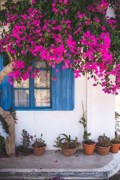 Pink Bougainvillea Flowers on Wall