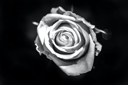 Foto d'estoc gratuïta de # pflanzen # blumen # flores # rosen # nikon # flowerpower # b