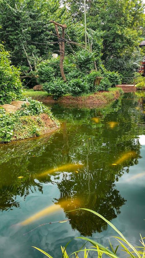 Kostenloses Stock Foto zu botanische gärten, chillen, fisch, großer karpfen