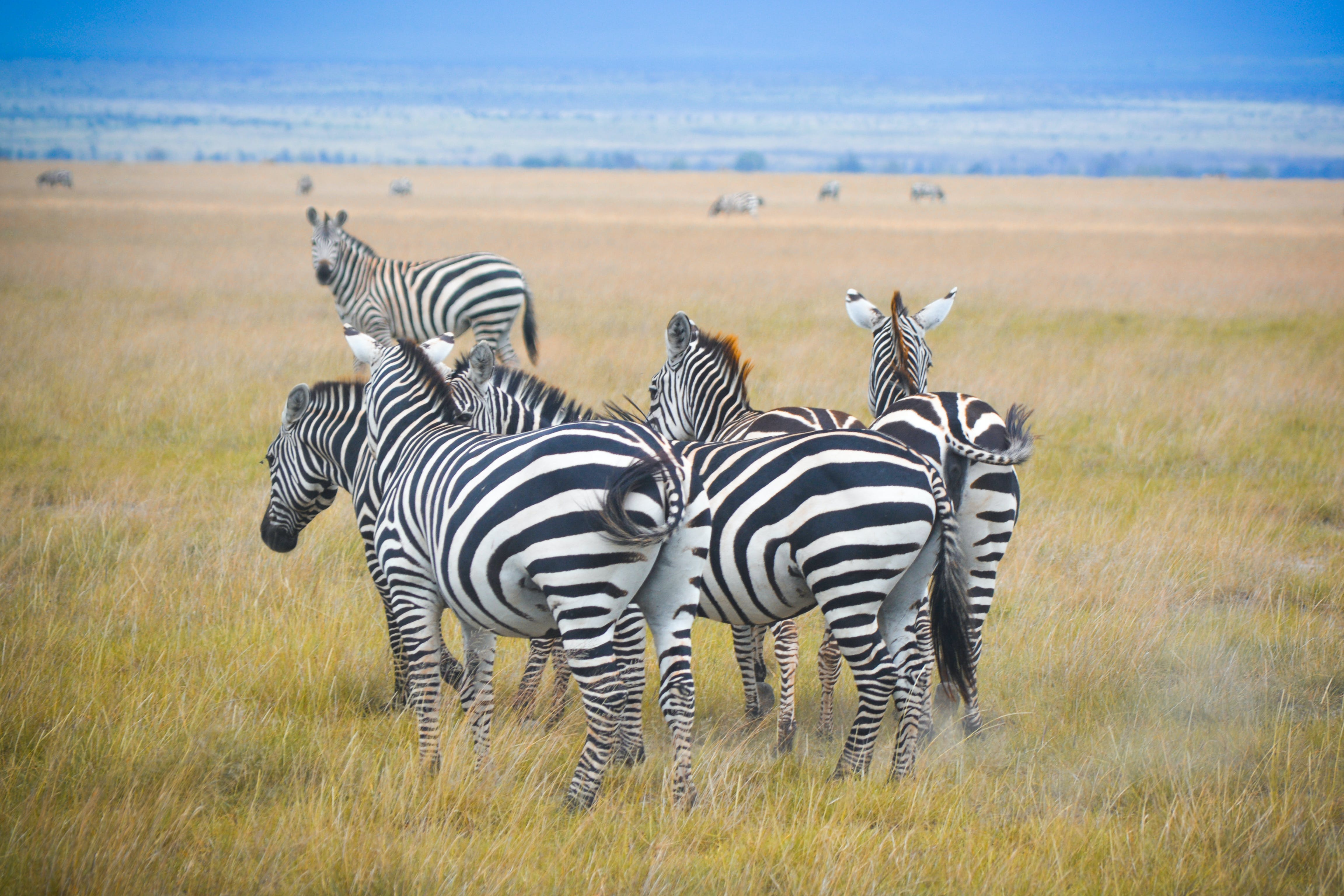 Free stock photo of cluster, clusters, stripes, zebra