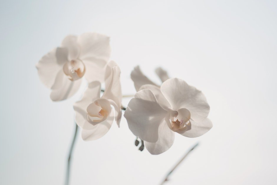 White Moth Orchid