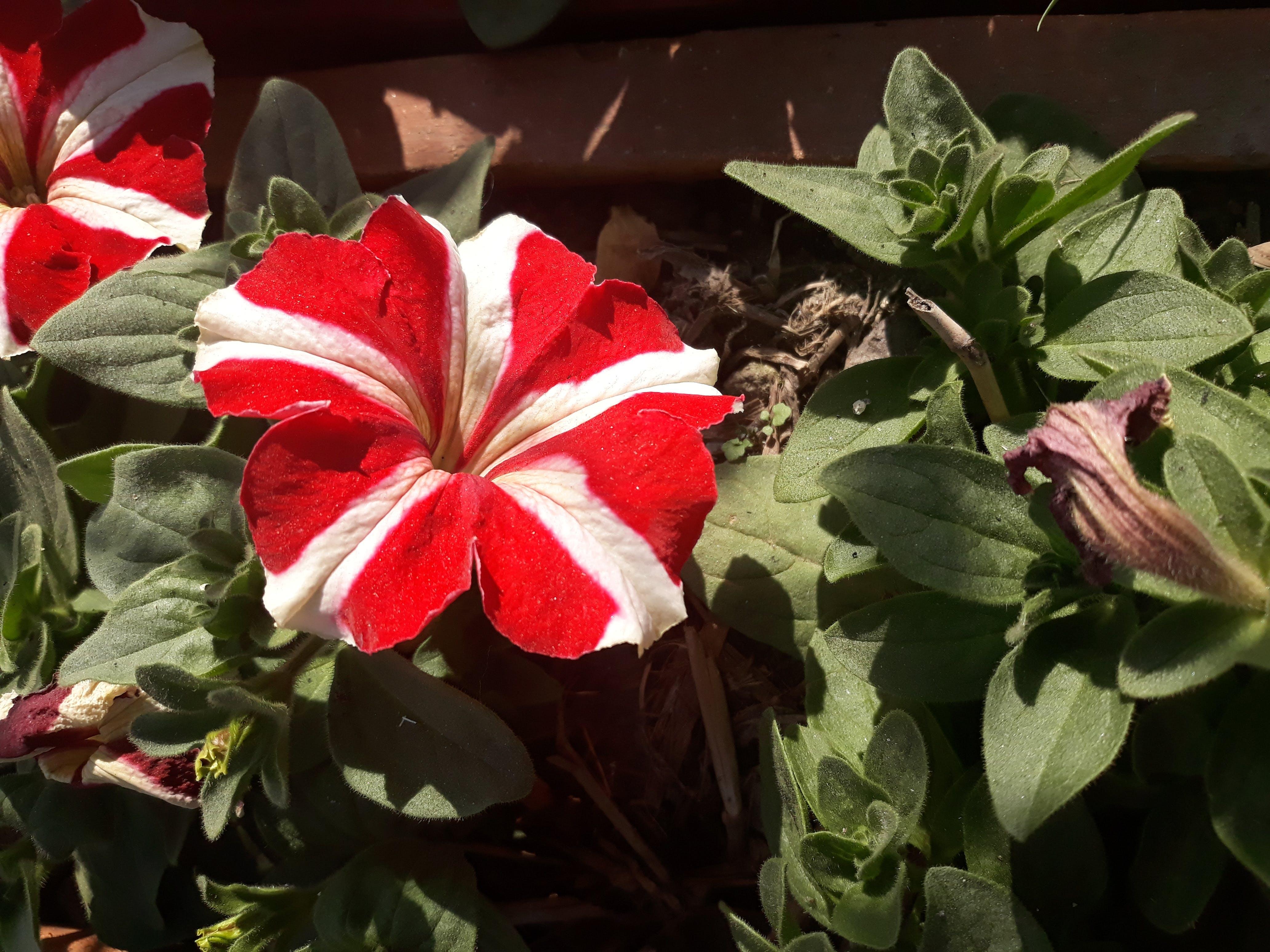 Free stock photo of beautiful flowers, flowers, nepal, pawankawan