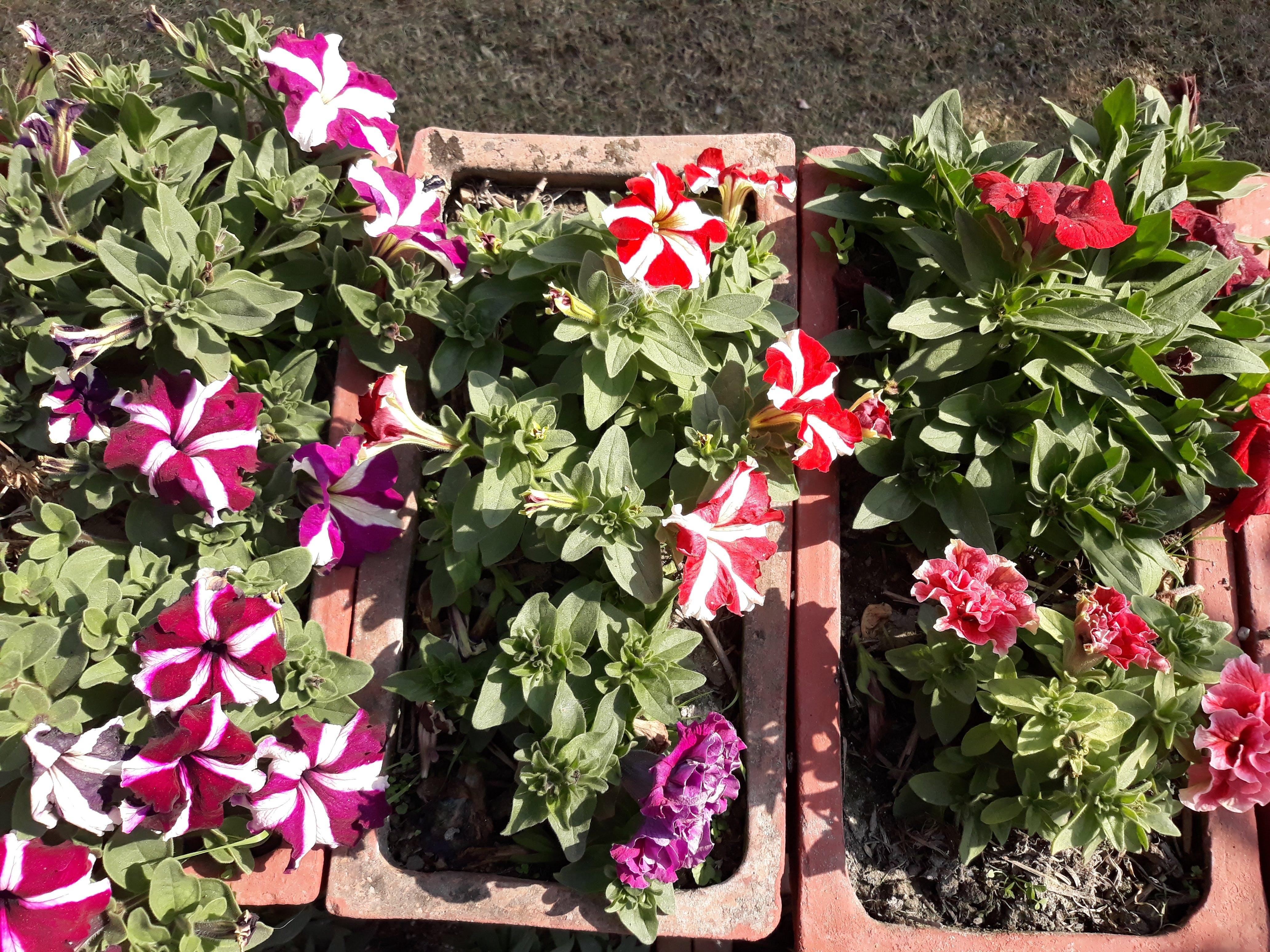 Free stock photo of beautiful flowers, greenary, nepal, pawankawan