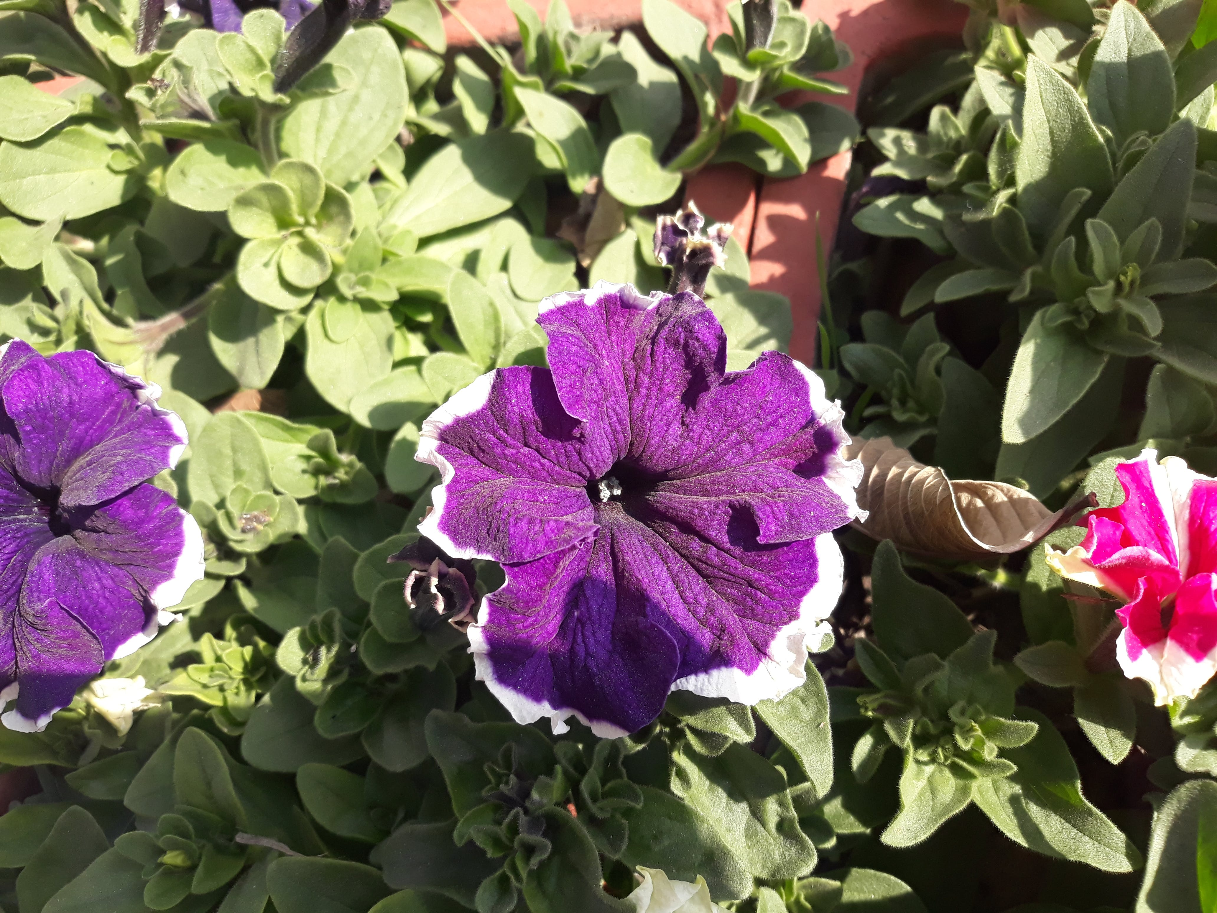 Free stock photo of beautiful flowers, blue flowers, nepal, pawankawan
