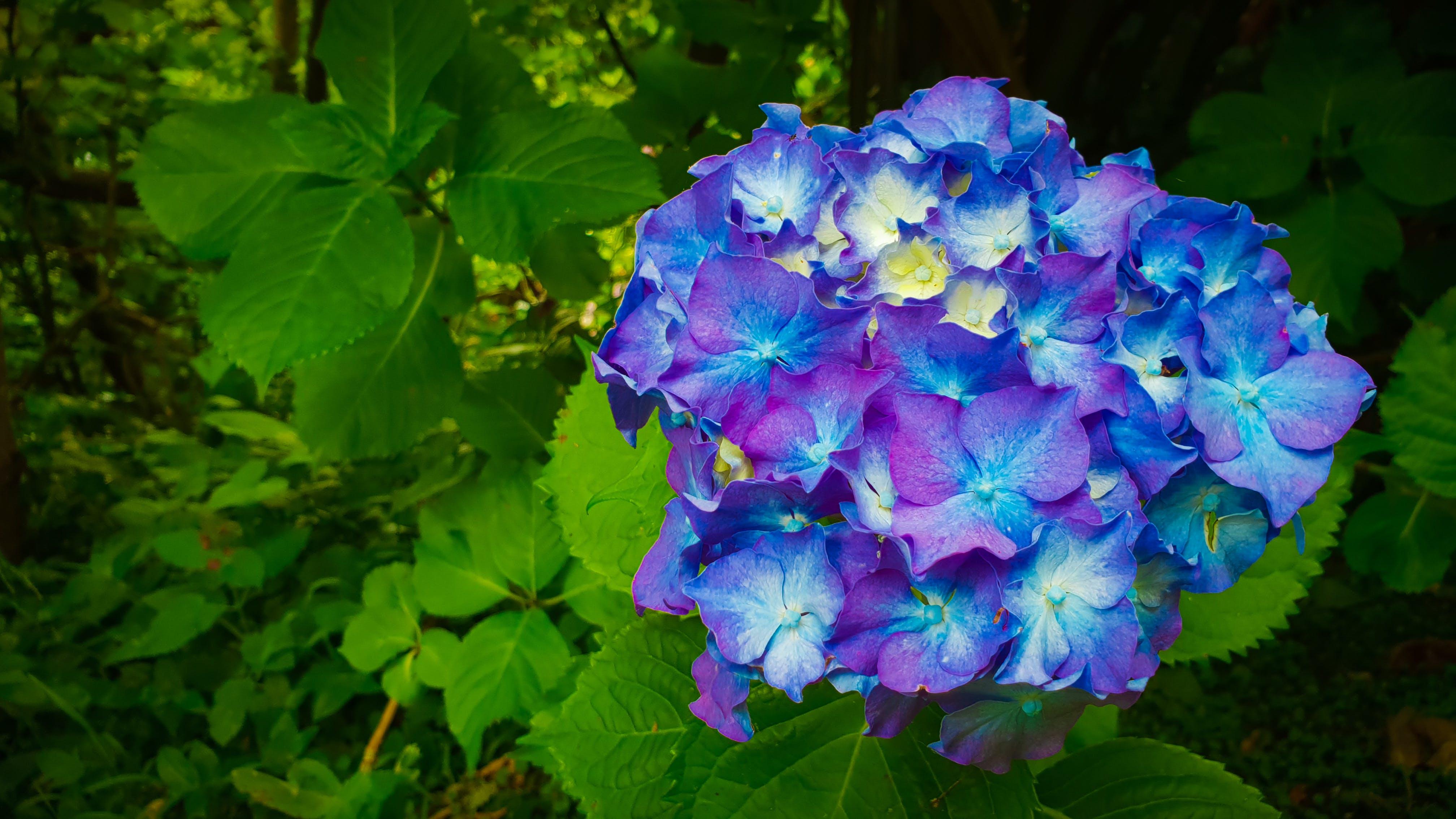 Kostenloses Stock Foto zu blau, blaue blume, blauen blüten, blumen