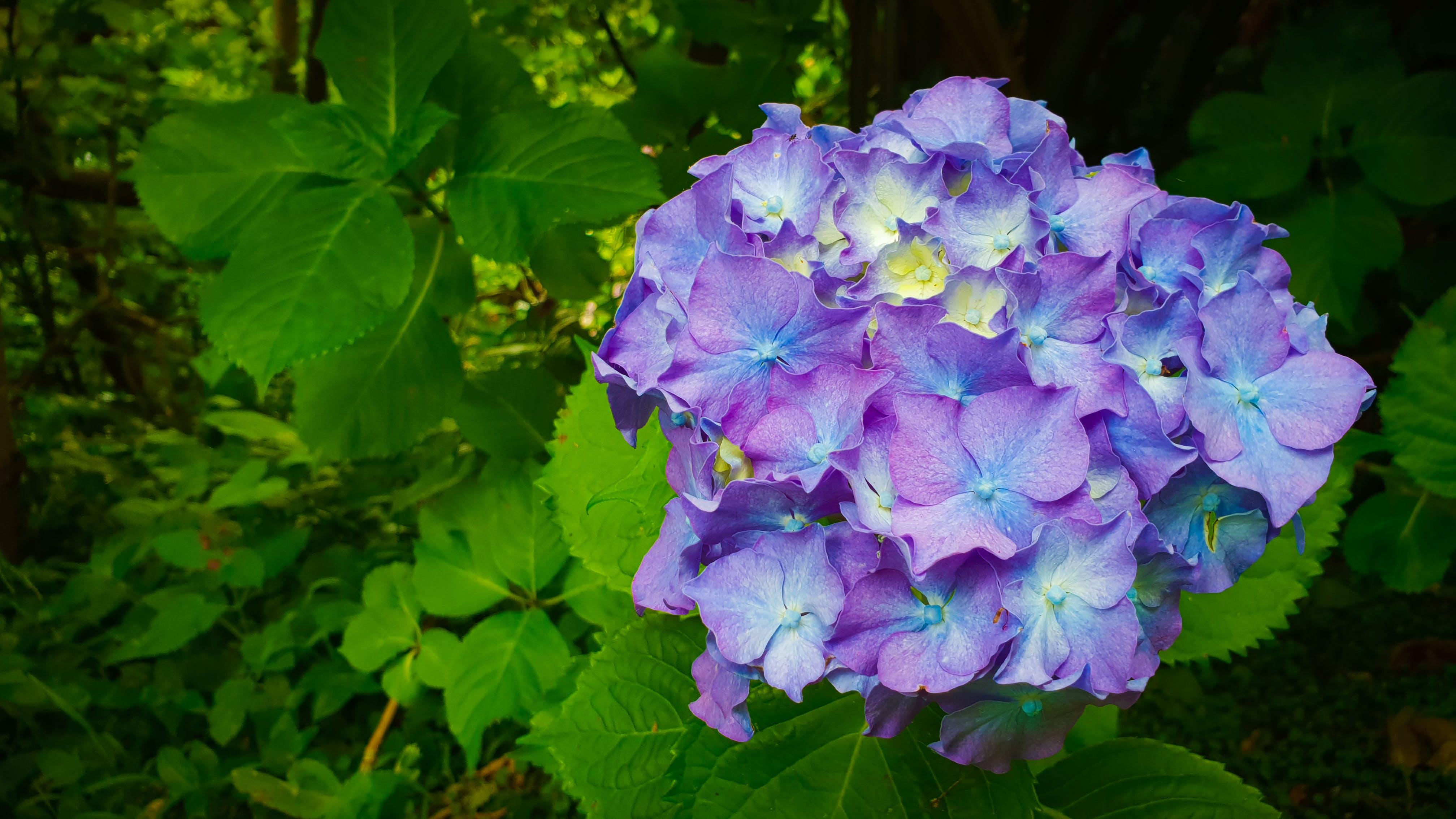 Kostenloses Stock Foto zu blätter, blau, blauen blüten, blumen