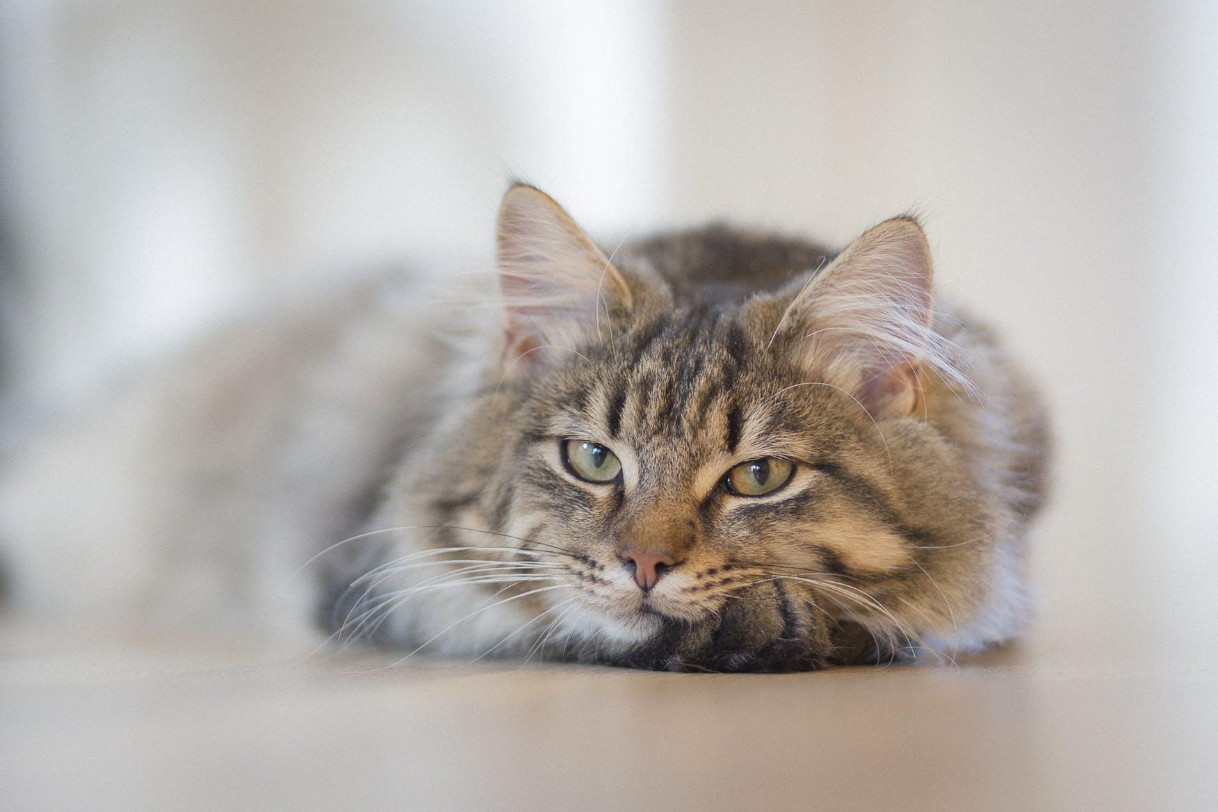 Gray Tabby Cat on Brown Floor