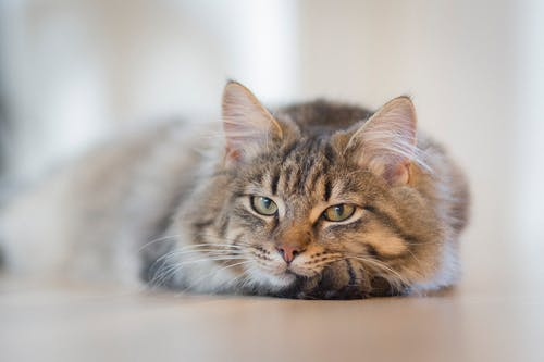 Gray Tabby Cat on Brown Floor