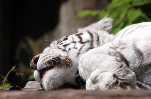 Δωρεάν στοκ φωτογραφιών με panthera tigris tigris, άγρια φύση, άγριο ζώο, αγριόγατα