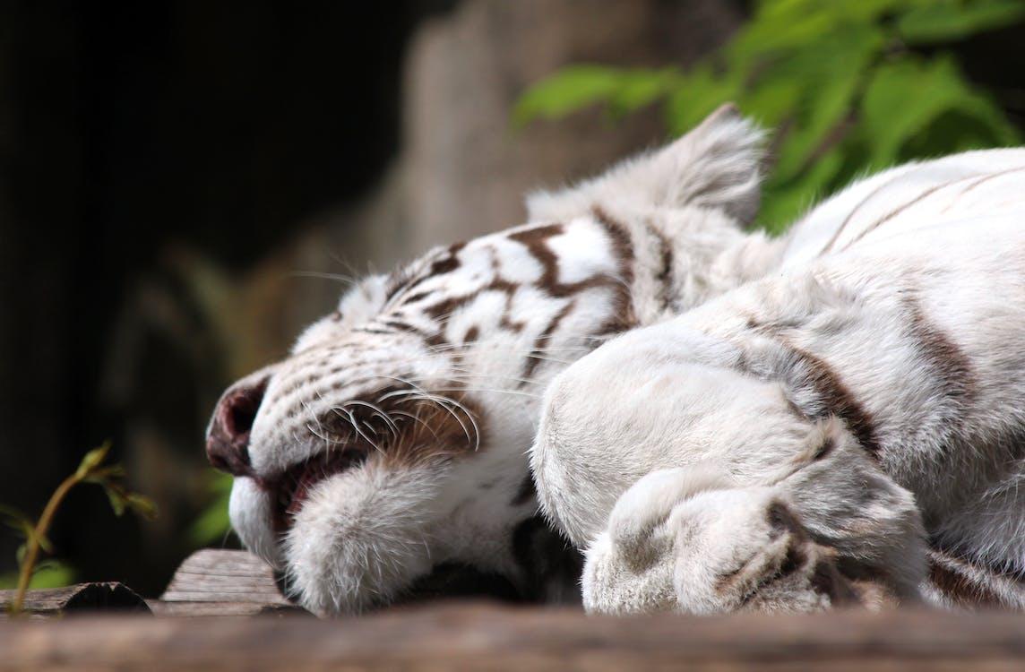 bengálský tygr, bílý tygr, divočina