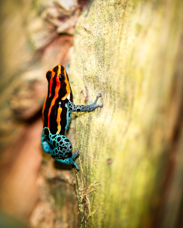 Free stock photo of Amazon poison frog