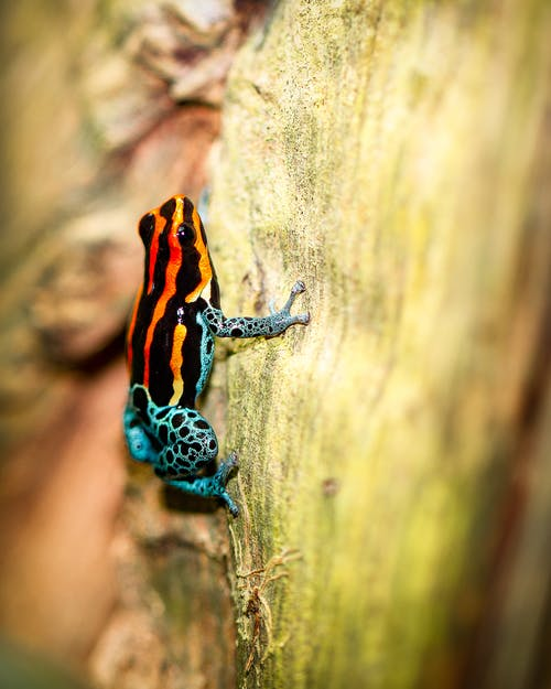 Free stock photo of Amazon poison frog