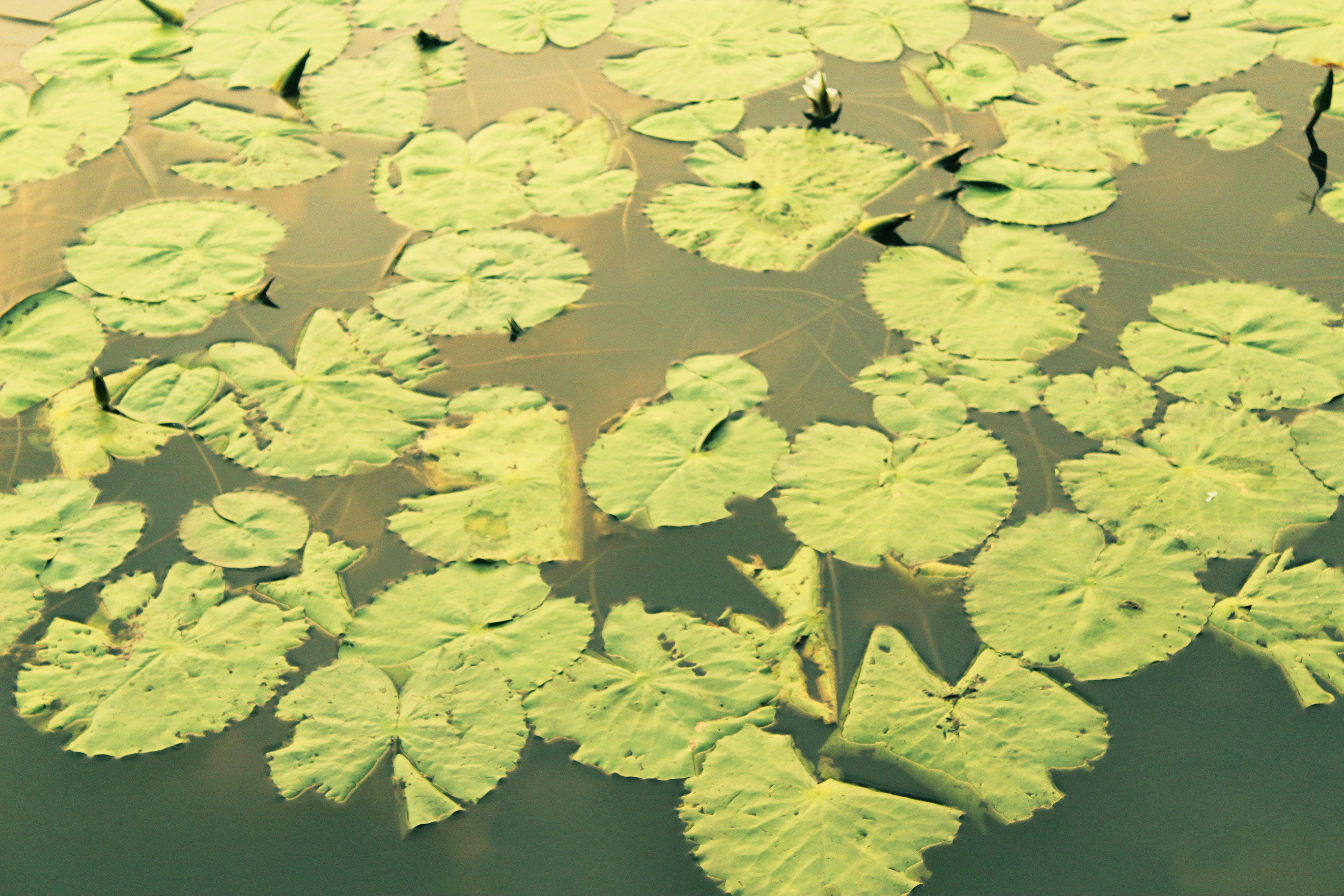 Kostenloses Stock Foto zu blätter im wasser, grüne blätter, lotusblättern, naturpark
