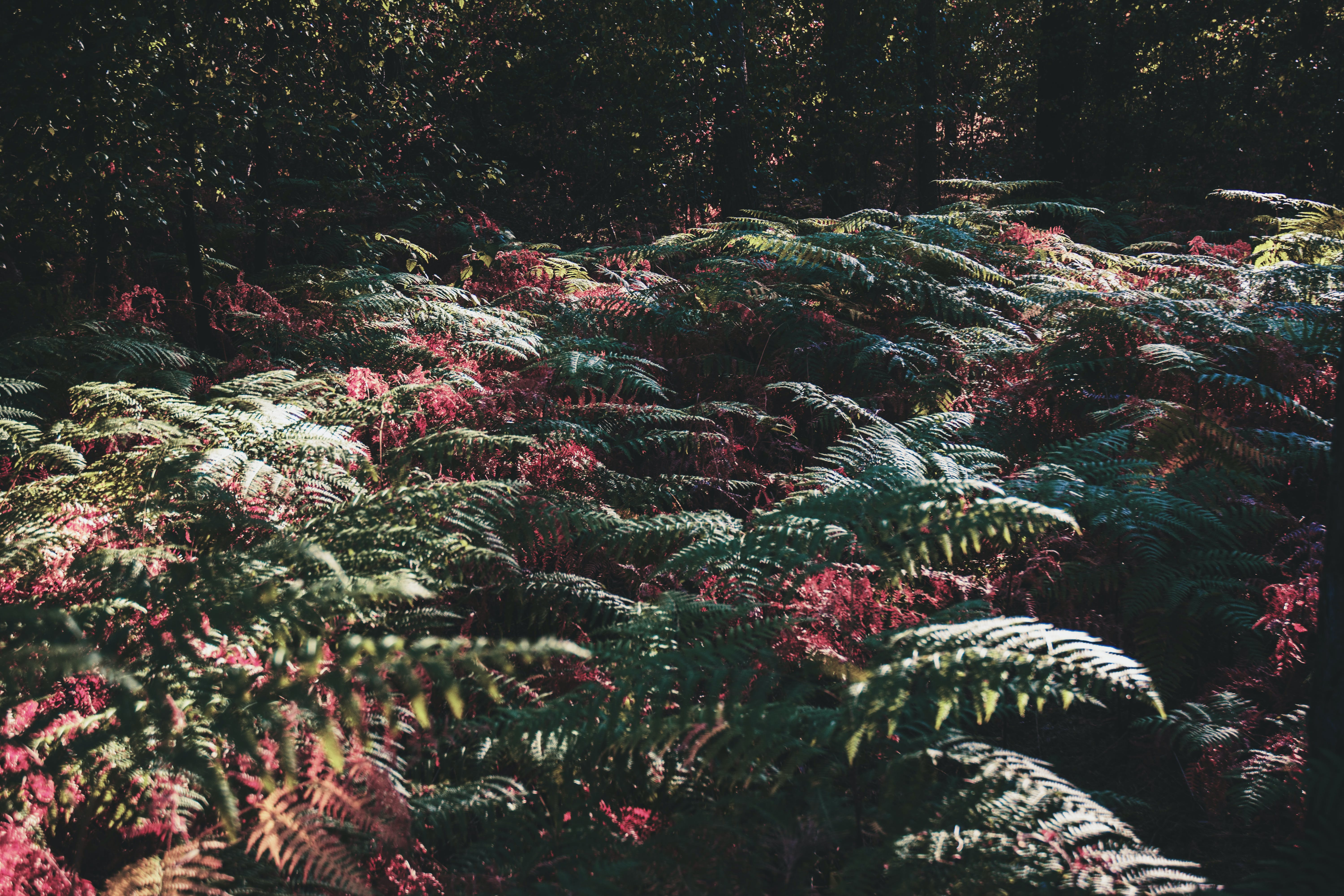 Free stock photo of color blending, fern, ferns, forest
