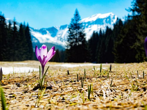 Free stock photo of crocus, flowers, high tatras