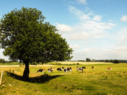 Free stock photo of animals, cows, meadows, tree