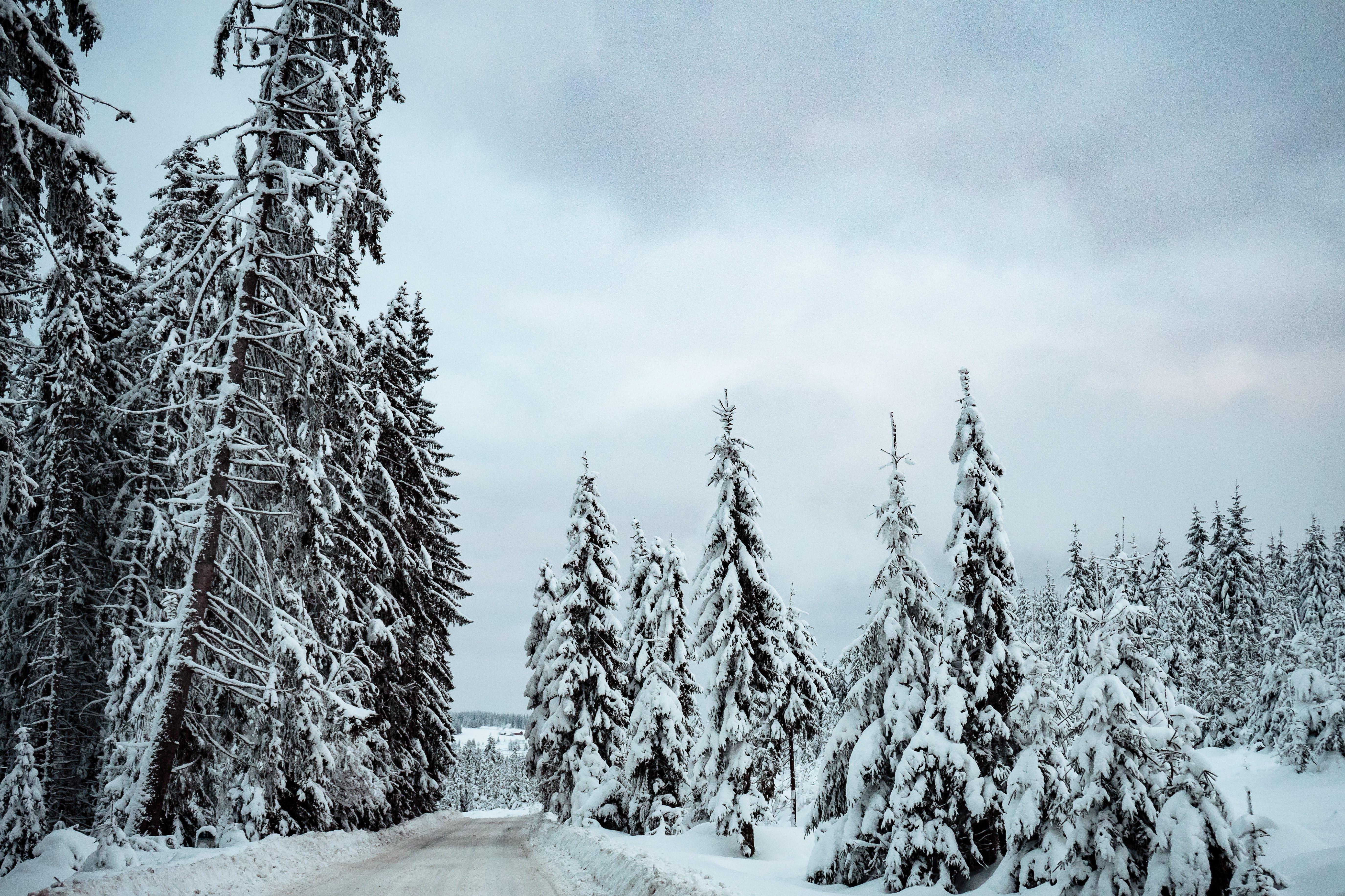 Gratis stockfoto met bomen, conifeer, jaargetij, kou