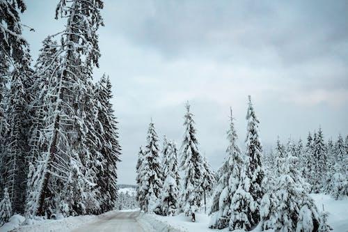 Fotobanka sbezplatnými fotkami na tému cesta, chladný, ihličnan, mráz