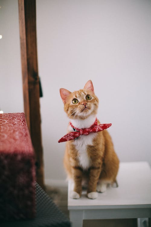 Orange Tabby Cat With Red Handkerchief Sitting On White Table