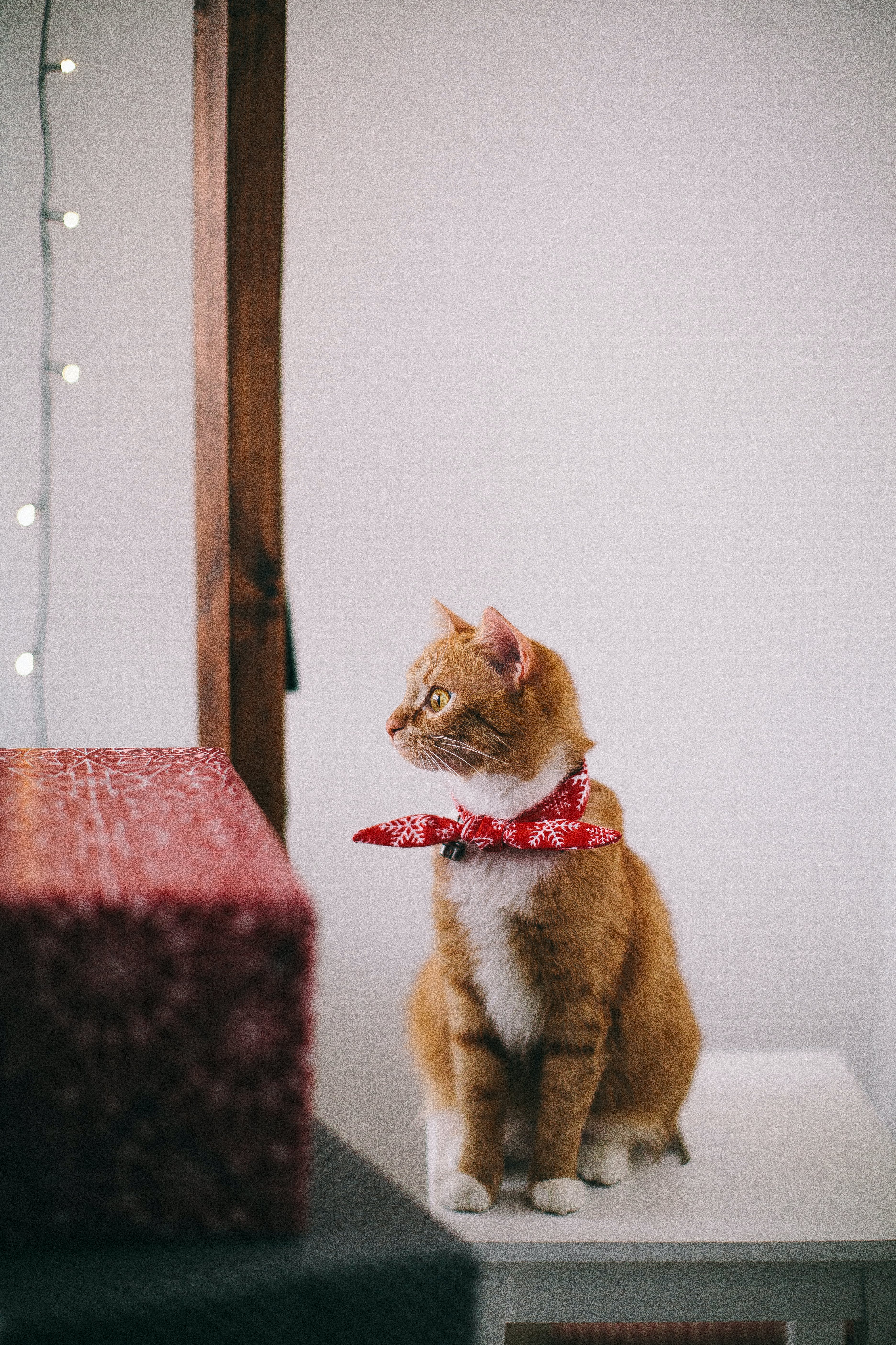 Orange and White Cat with Red Ribbon on Neck Sitting on White Wooden Stool Looking Away