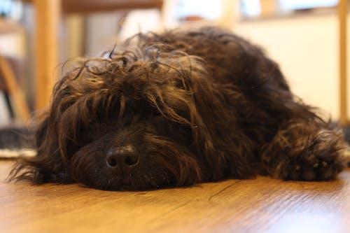 小狗, 狗, 黑狗, 黑髮 的 免费素材照片