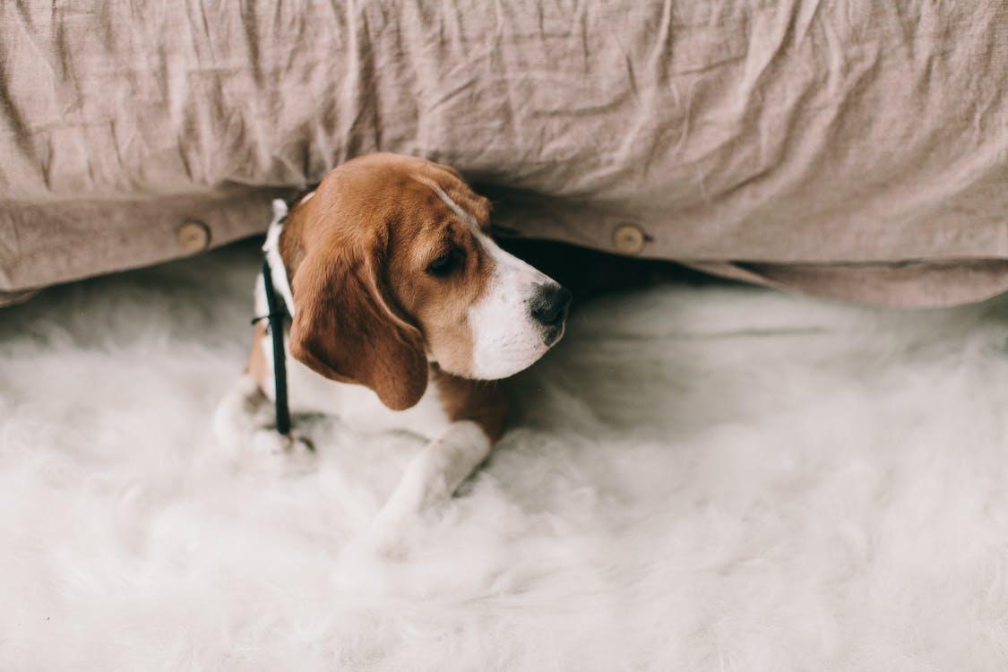beagle, bedårende, dyr