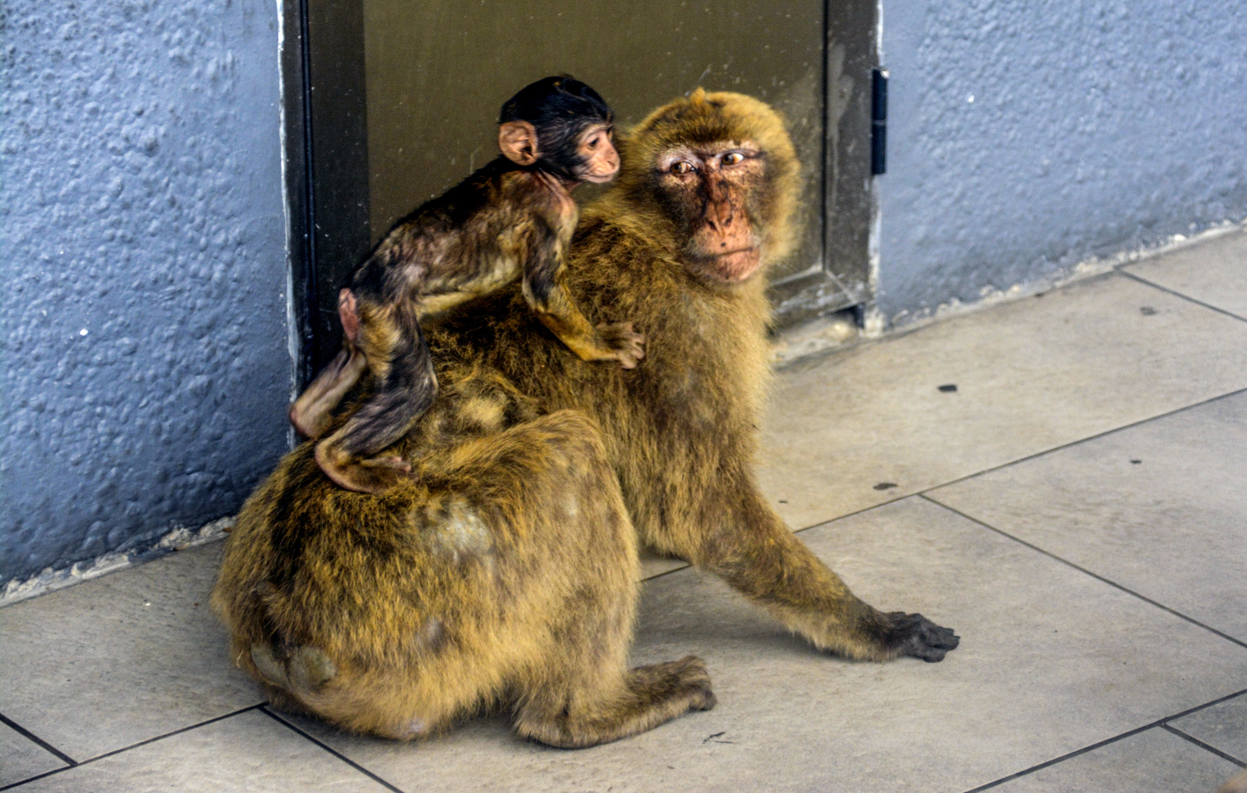 Free stock photo of animals, baby monkey, Gibraltar, monkey
