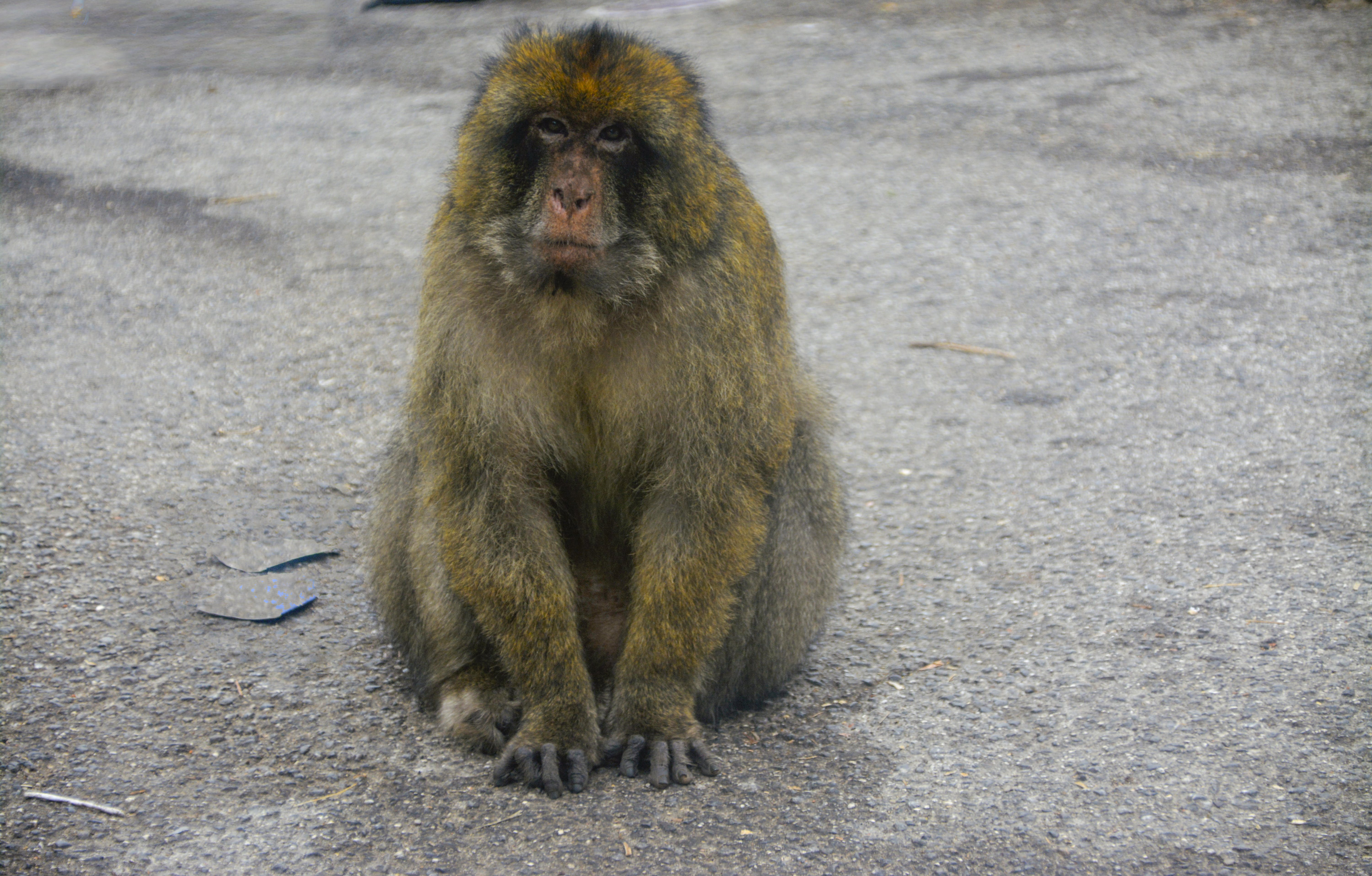 Free stock photo of animal, Gibraltar, monkey