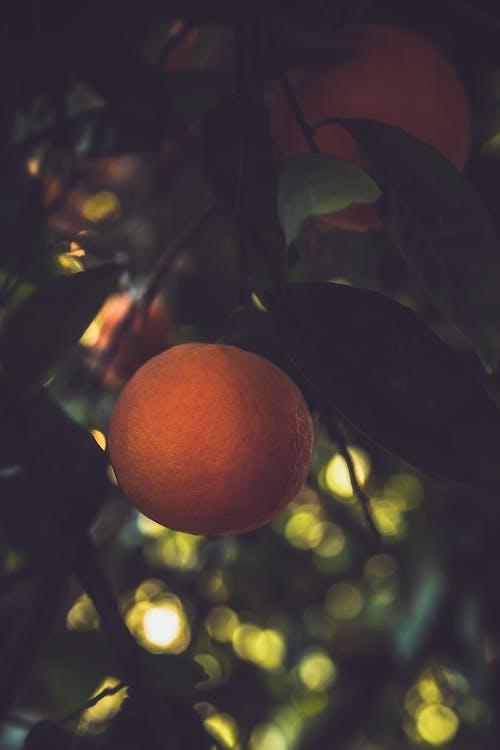 吃得健康, 天性, 柑橘, 橘子树 的 免费素材照片
