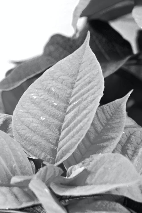 Free stock photo of black and white, christmas, flower, poinsettia
