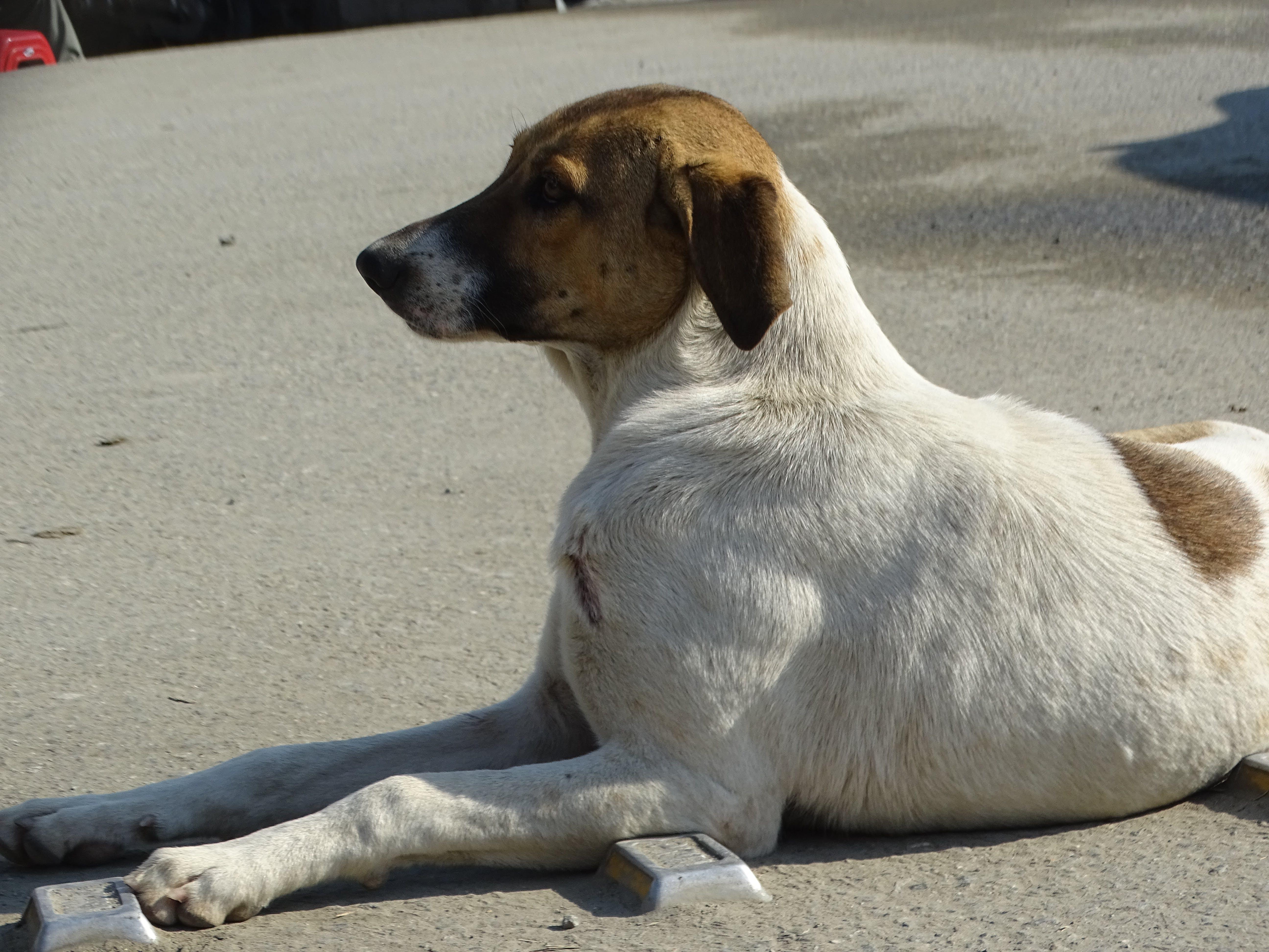 Foto profissional grátis de andava de lado, cachorro, cachorro de rua, cão fedorento