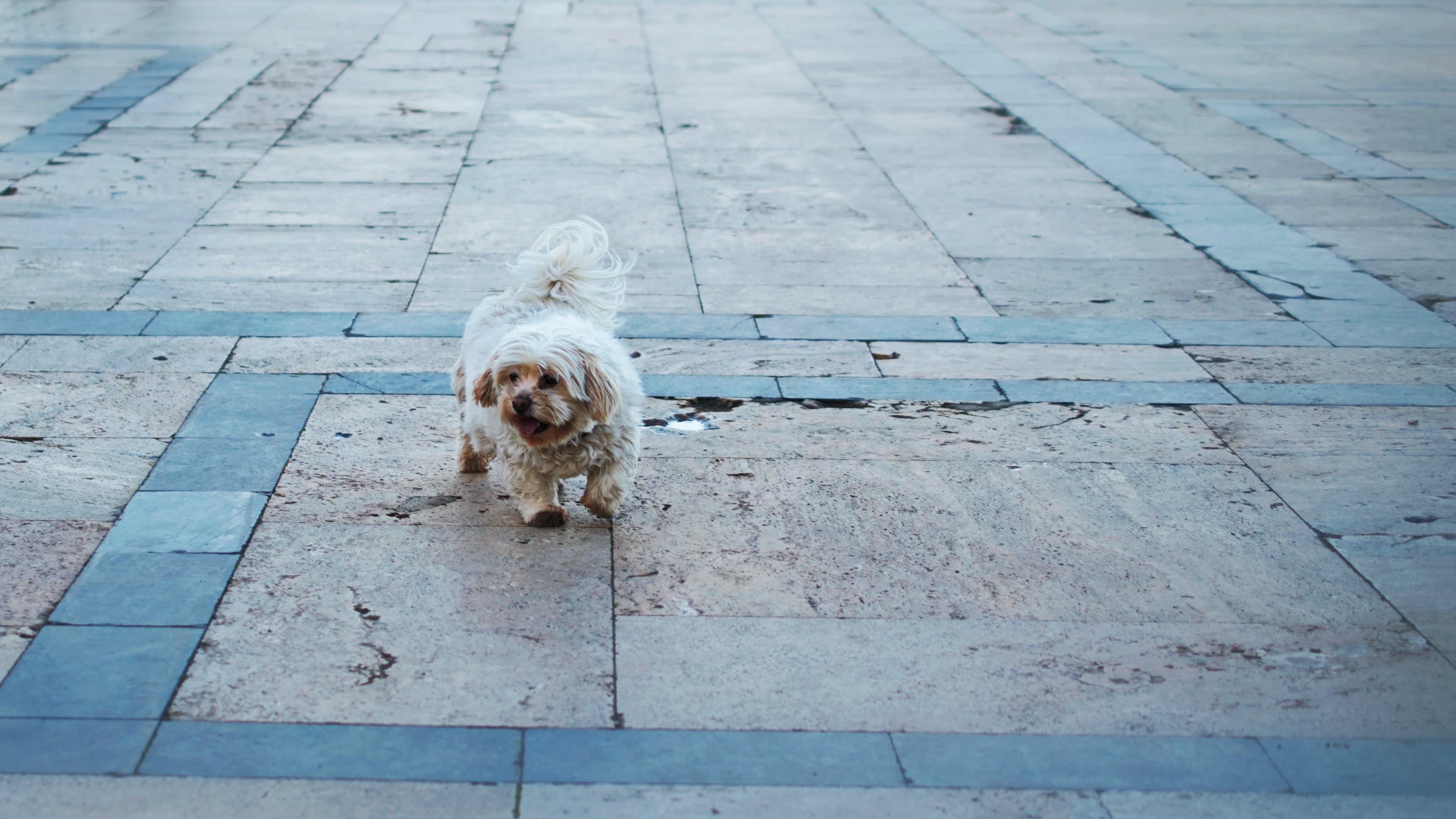Free stock photo of pavement, white dog