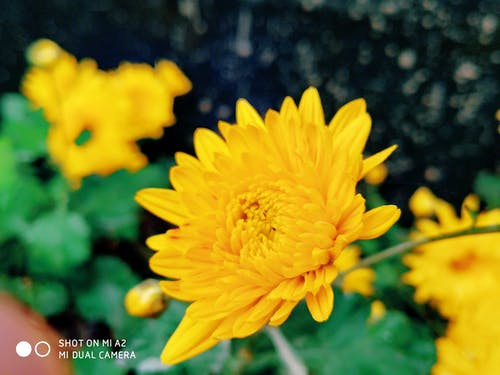 Free stock photo of beautiful flower, single flower, yellow flower