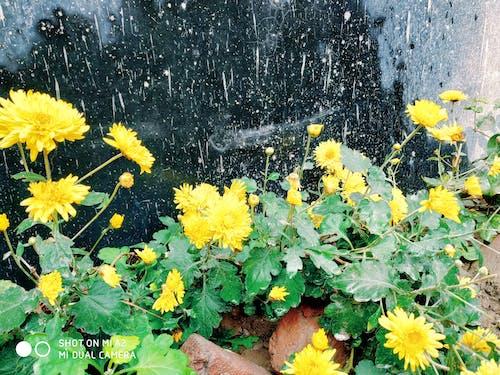 Free stock photo of beautiful flower, garden flower, OfferPlant, yellow flower