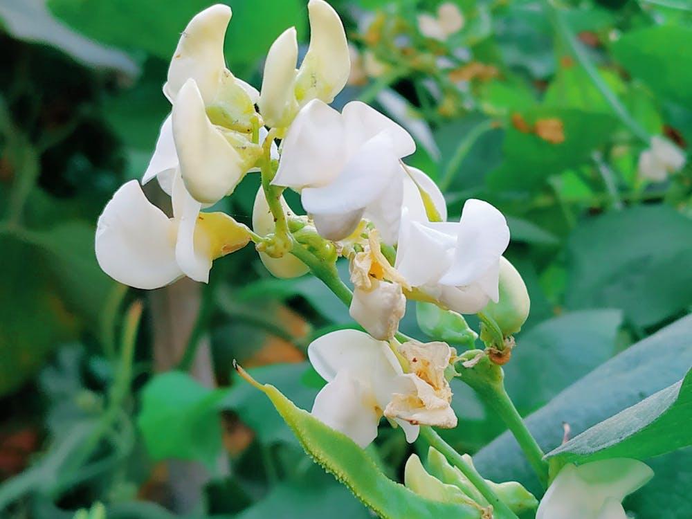 Free stock photo of bean flower, beautiful flowers