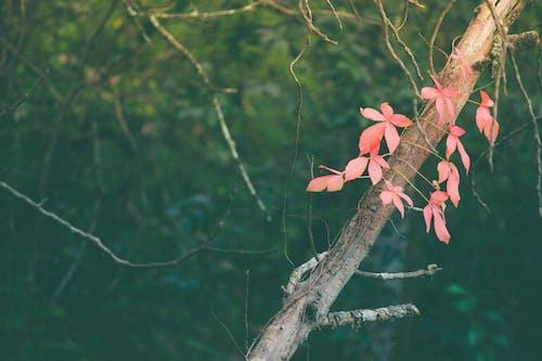 Immagine gratuita di acero rosso, foglie autunnali, foglie rosse, ramo di albero
