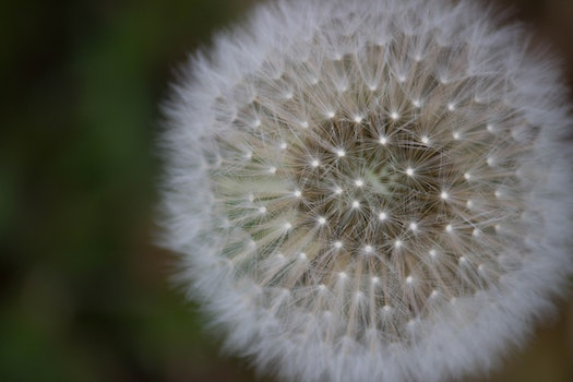 Free stock photo of dandelion, close up
