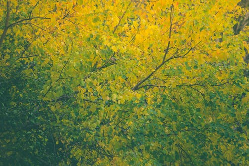 Immagine gratuita di albero giallo, colorato, foglie autunnali, foglie gialle