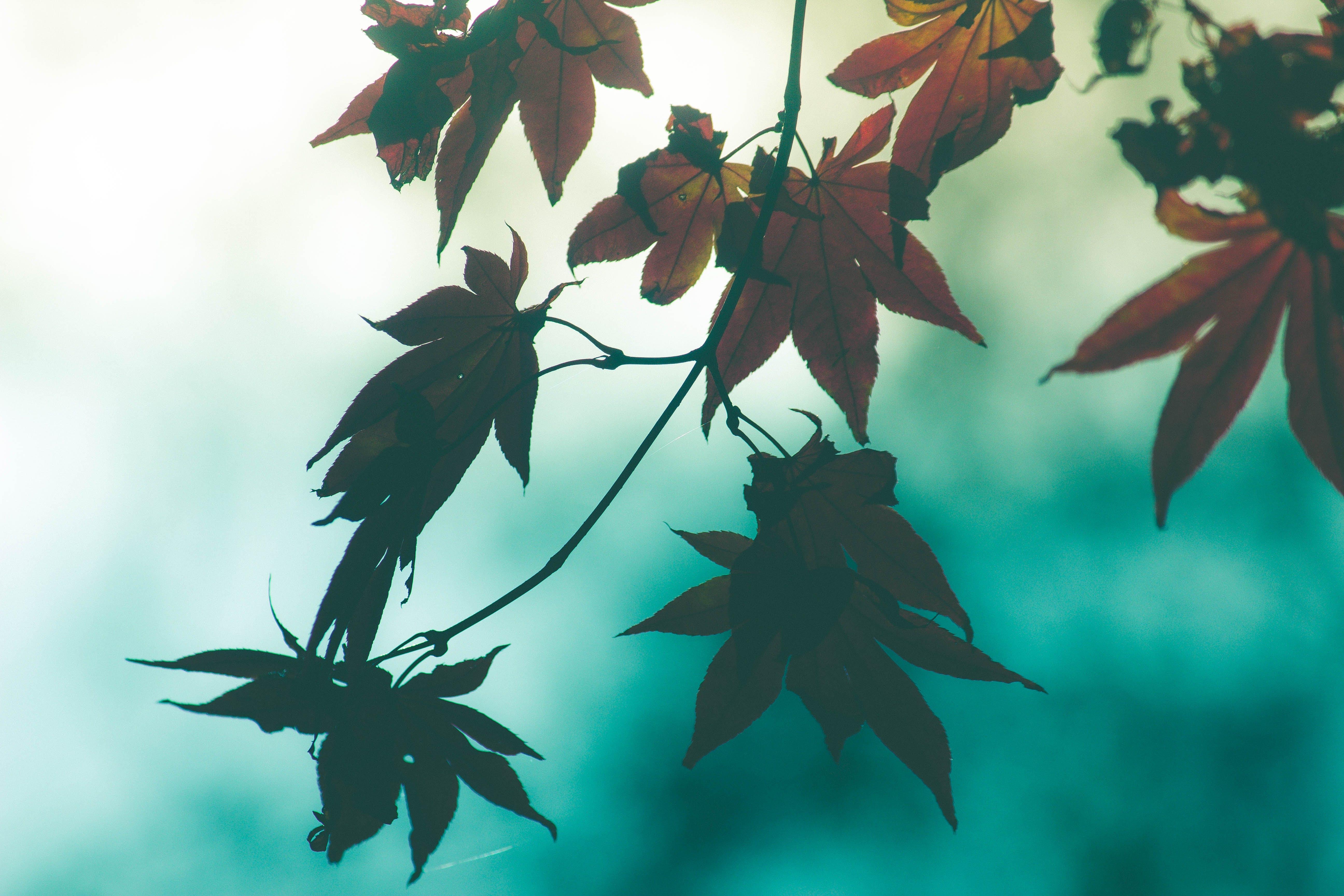 Δωρεάν στοκ φωτογραφιών με κόκκινα φύλλα, κόκκινο σφενδάμι, πτώση φύλλων