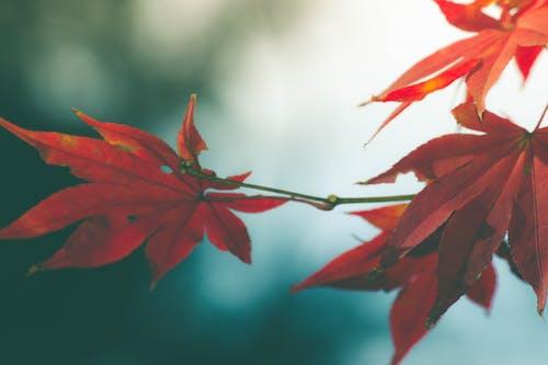 Immagine gratuita di acero rosso, foglie autunnali, foglie rosse