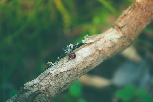 Free stock photo of branch, ladybug