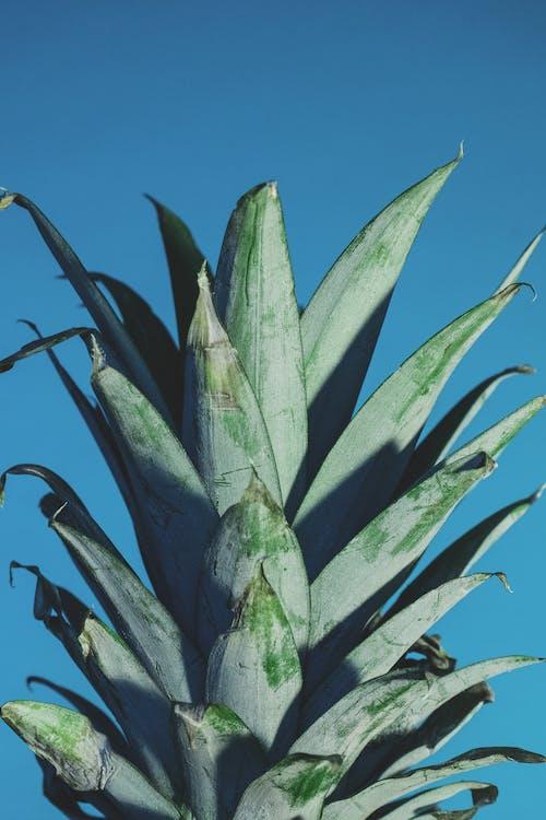 Безкоштовне стокове фото на тему «ананас, великий план, тропічні фрукти, тропічний фрукт»