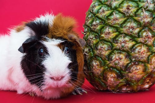 Guinea Pig and Pineapple Fruit