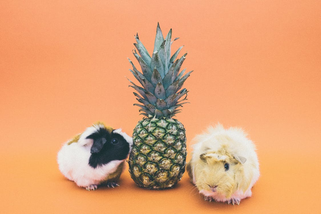 Pineapple Fruit Between 2 Guinea Pig