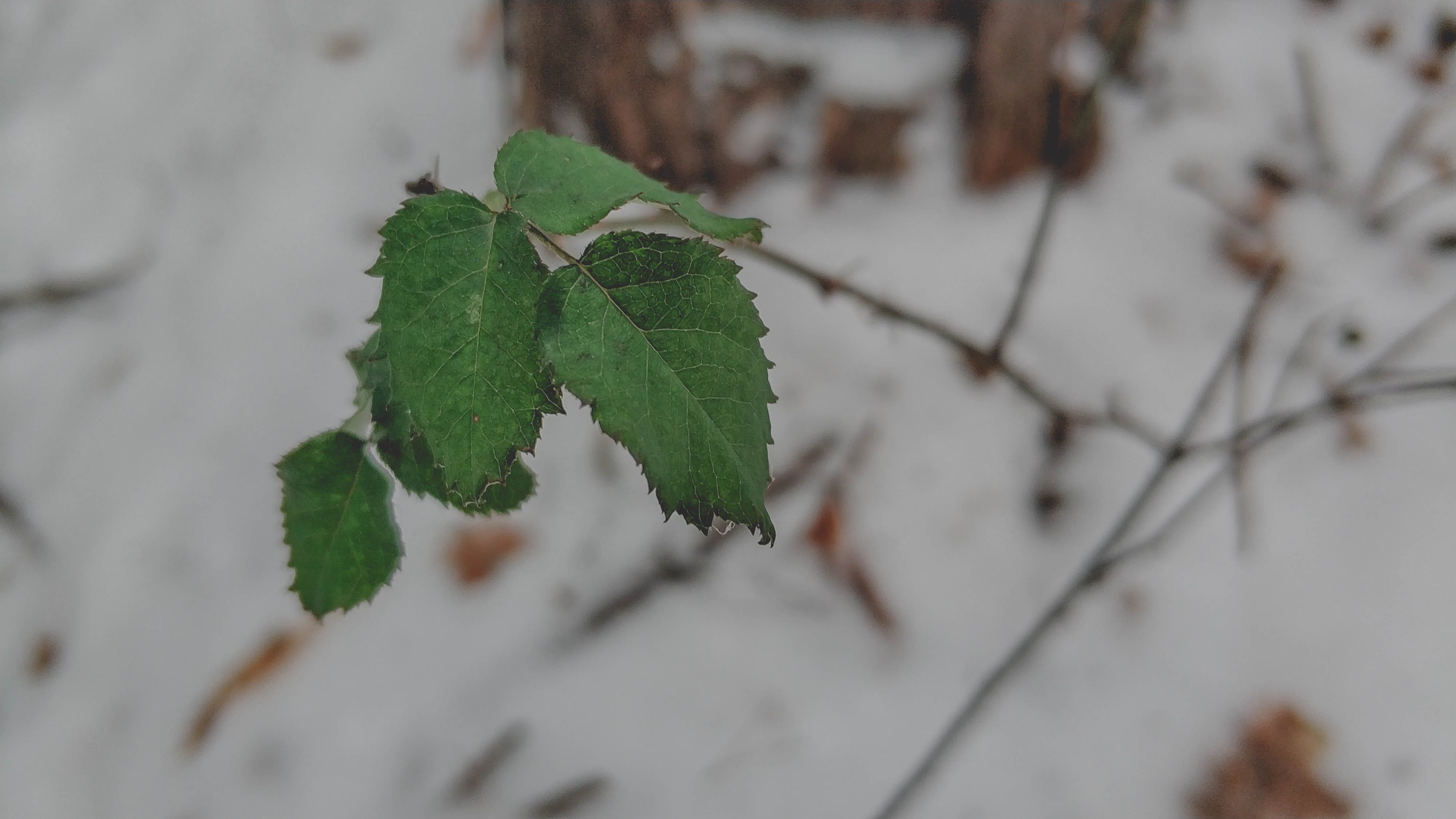 Free stock photo of cold, leaves, snow, winter