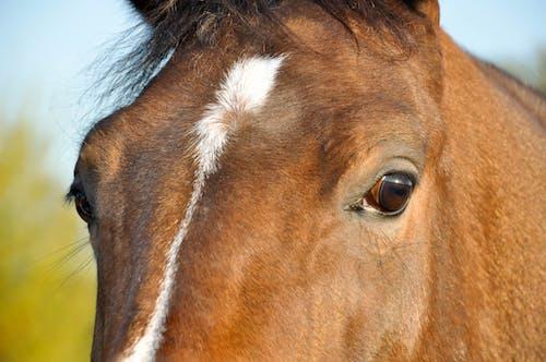 Ảnh lưu trữ miễn phí về Chân dung, chân dung con vật, con ngựa, mắt