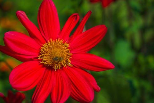 Imagine de stoc gratuită din albină, dalie, floare, fundal gratuit