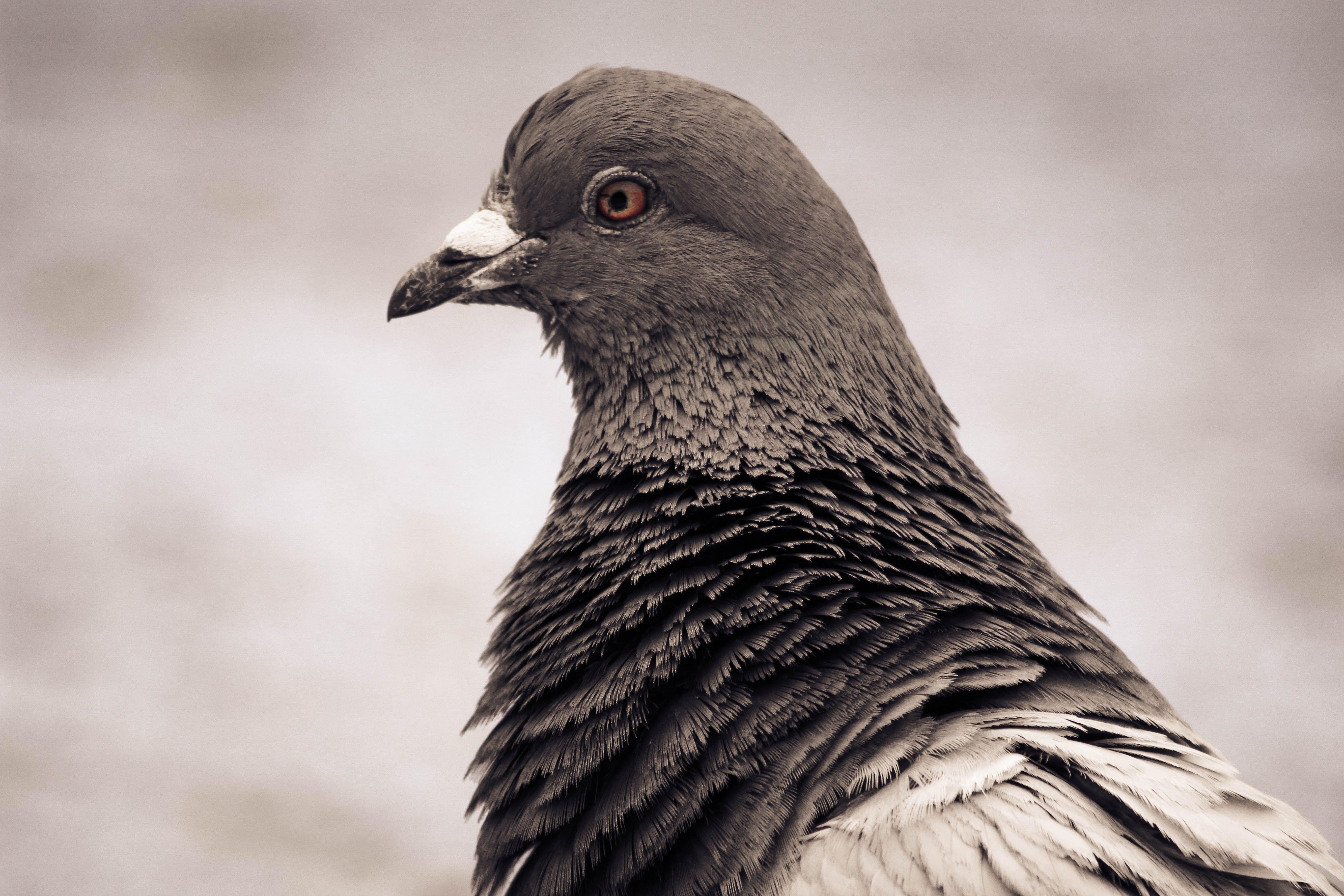 Free stock photo of pigeon