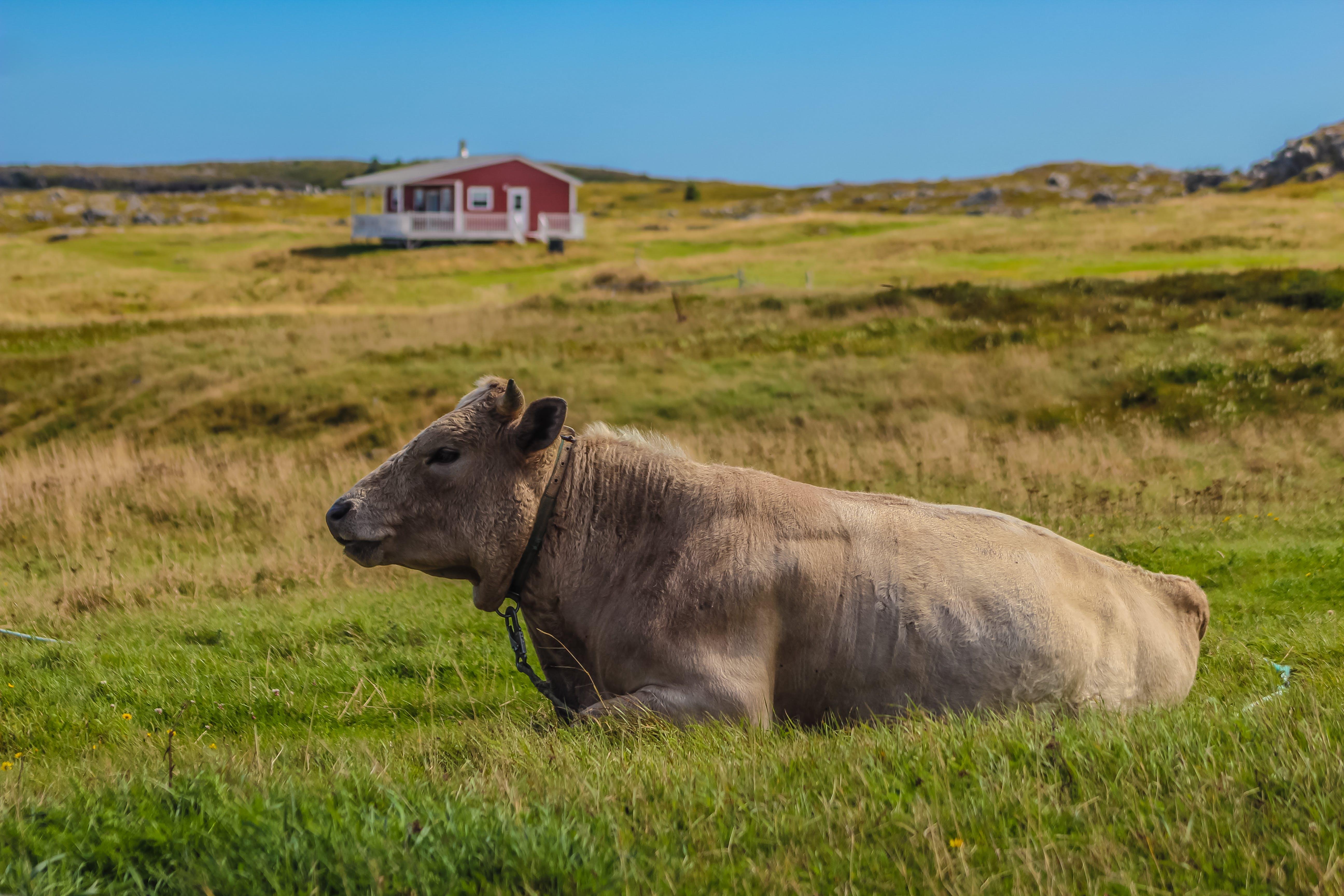 Free stock photo of cow, farm