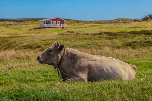 Základová fotografie zdarma na téma farma, kráva